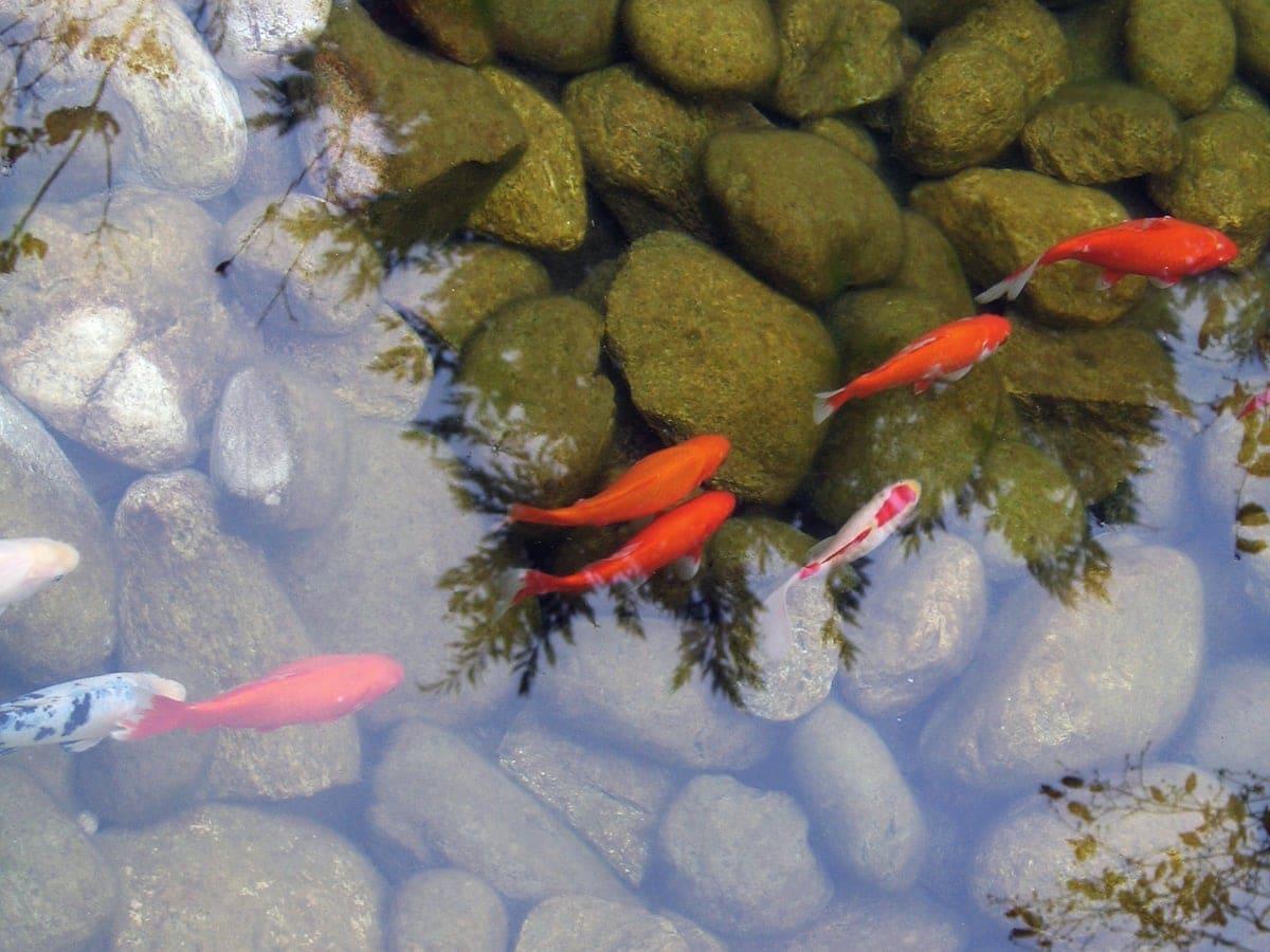 FormedAcqua-giardino-acquatico-pesci