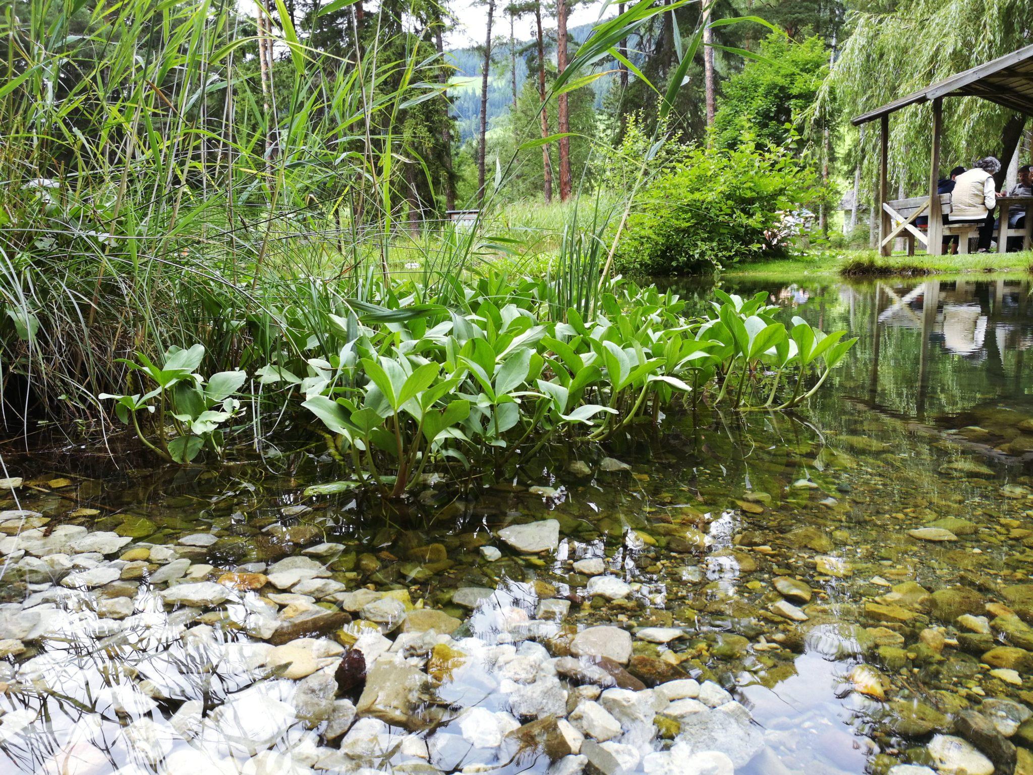 I benefici delle piante acquatiche forme d 39 acqua for Piante da laghetto ossigenanti